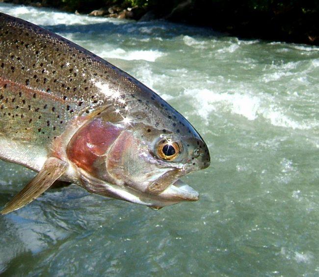 Neue Fangbestimmungen für Salmoniden