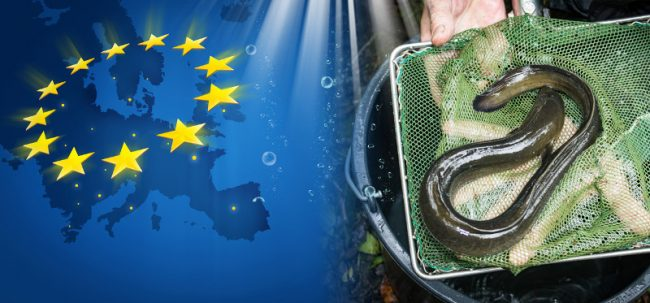 Aal-Fangverbot für die Ostsee geplant