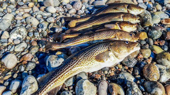 Fangbegrenzung Dorsch Ostsee 2021